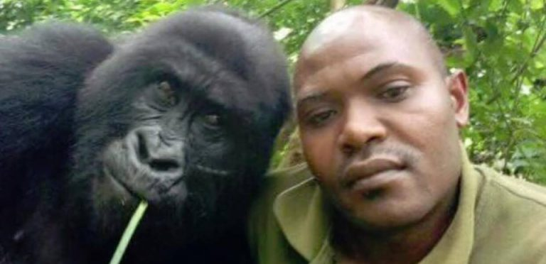 Gorilas en selfies con guardaparques del Congo